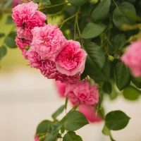 Põltsamaa roosiaed | Liina Laurikainen